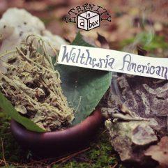 Waltheria Americana 'Uhaloa' *Organic*