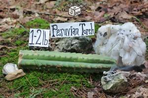 """12-14"""" Peruvian Torch Cactus Cutting (1-2lbs) Trichocereus Peruvianus"""