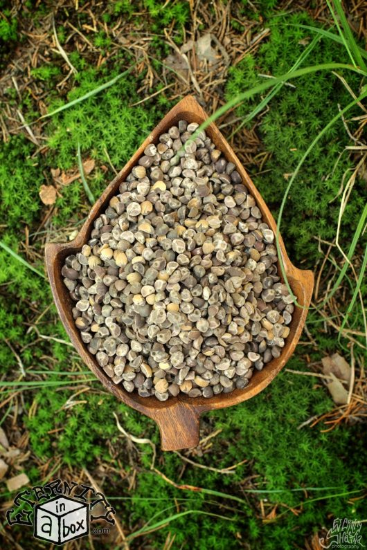 Hawaiian strain Hawaiian Baby Woodrose Seeds Organic untreated Argyreia Nervosa