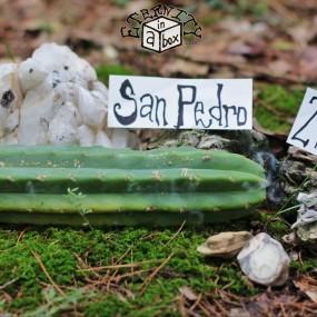 """12-14"""" San Pedro Cactus Cutting (2lbs+) Trichocereus Pachanoi"""